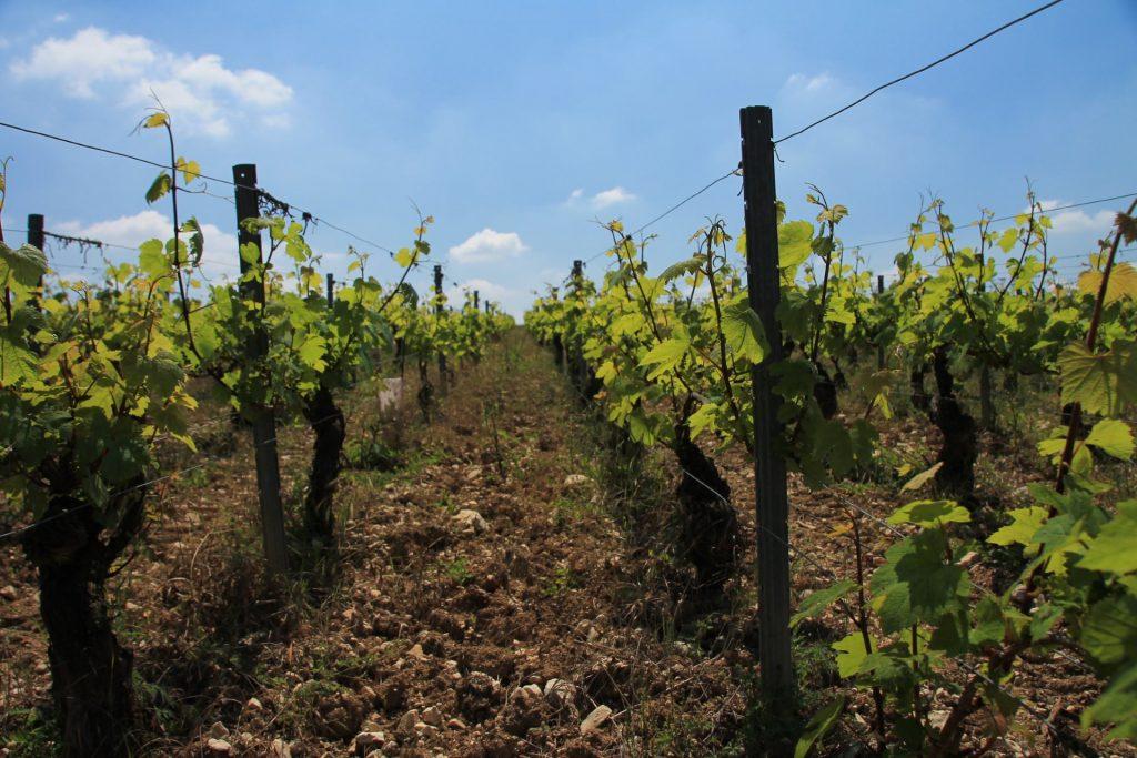 Chablis wijngaard