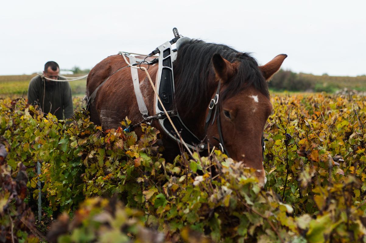 Paard in wijngaard van Jerome Lefevre in de Champagne